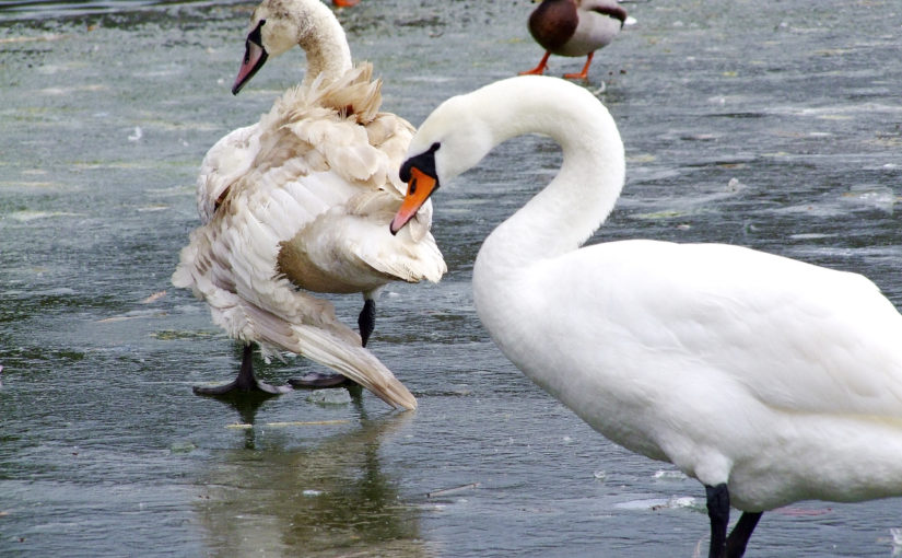 Törött szárnyú hattyút mentenek az állatvédők
